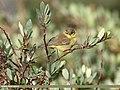 Tickell's Leaf Warbler (Phylloscopus affinis) (36283966183).jpg