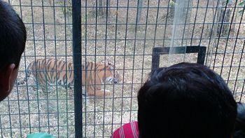 Tiger @ Bannerghatta.jpg