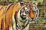 Tiger - Linton Zoo (16892916721).jpg