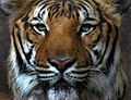 Tiger portrait.jpg