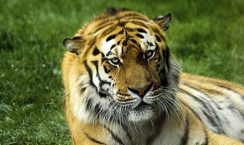Archivo:Tigre.jpg