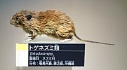 Tokudaia spp. - National Museum of Nature and Science, Tokyo - DSC07082.JPG