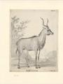 Tragelaphus strepsiceros - 1710-1792 - Print - Iconographia Zoologica - Special Collections University of Amsterdam - UBA01 IZA1000712.tif