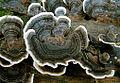 Trametes.versicolor.Lindsey-cropped.jpg