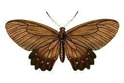 TransEntSocLond 1872Plate3 - Parides burchellanus