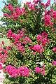 Tree-Crepe-Myrtle-2315.jpg