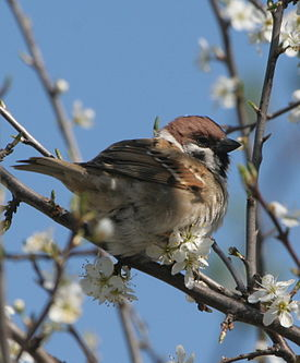 Tree Sparrow in hedge.JPG