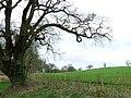 Tree and field, north of Radford - geograph.org.uk - 749033.jpg