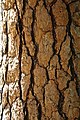 Tree bark at Tenaya Creek in Yosemite Valley, Northern California.jpg