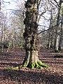 Tree in Whitley Wood - geograph.org.uk - 1660774.jpg