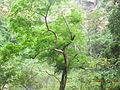Tree in forest near Wli Waterfall.JPG