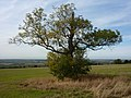 Tree on Saxby Hill - geograph.org.uk - 1526192.jpg