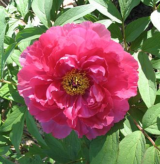 Paeonia suffruticosa - A flower of a tree peony in a garden in Queens, New York City, May 2007