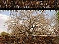 Trees in iran-qom city -پوشش گیاهی و درختان استان قم 15.jpg