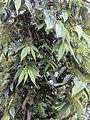 Trema orientalis 62.jpg