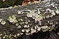 Trichaptum biforme, Gatineau Park (45280899472).jpg