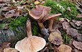 Tricholoma fulvum -Taunus mountains Germany.JPG
