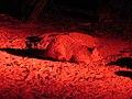 Trichosurus vulpecula (39109522345).jpg
