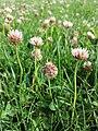 Trifolium fragiferum (subsp. fragiferum) sl17.jpg