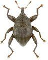 Trigonopterus strigatus holotype - ZooKeys-280-001-g083.jpg