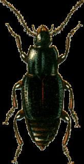 <i>Trigonurus</i> Genus of beetles