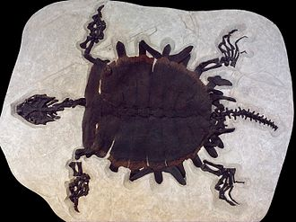 Fossil Butte National Monument - This 1.7-meter (5 foot 6 inch) Trionychid softshell turtle is one of the largest turtles known from Fossil Lake.