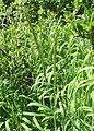 Trisetum flavescens kz02.jpg