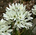 Triteleia hyacinthina 2.jpg