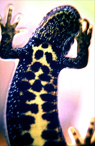 Northern crested newt - The northern crested newt has black, well defined blotches on its belly.
