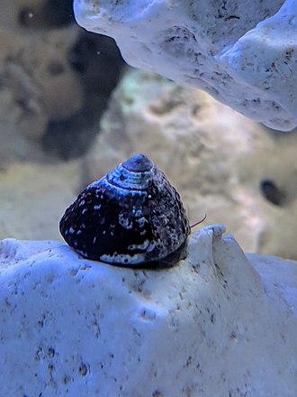 Trochus - Image: Trochus Snail