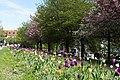 Tulip flowers in Prague 2.jpg