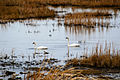 Tundra Swans at Birder's Corner.jpg