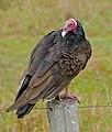 Turkey Vulture (Cathartes aura) (29030977321).jpg