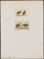 Turnix spec. - 1700-1880 - Print - Iconographia Zoologica - Special Collections University of Amsterdam - UBA01 IZ17100167.tif