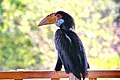 Turo the Hornbill - panoramio.jpg