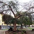 Ulmus parvifolia Roma.jpg