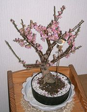 Ume bonsai.jpg