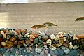 Unarmored threespine stickleback endagered species gasterosteus aculeatus williamsoni.jpg