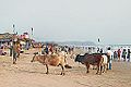 Une plage de Goa (Inde) (13644381303).jpg