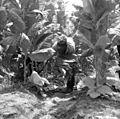 Unidentified worker harvesting shade tobacco in Quincy, Florida (12634181723).jpg