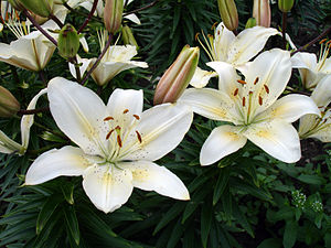 "University of Saskatchewan - Lilium ""University of Saskatchewan"" – the University of Saskatchewan centennial lily by plant breeder Donna Hay"