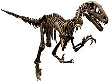 Utahraptor skeleton NAMAL white background.jpg