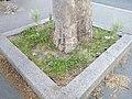 Végétalisation naturelle pied d'arbre rue des fossés-saint-bernard Paris 5.jpg