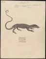 Varanus bengalensis - 1700-1880 - Print - Iconographia Zoologica - Special Collections University of Amsterdam - UBA01 IZ12400039.tif