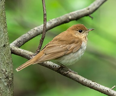 Veery in Central Park
