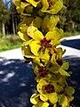 Verbascum nigrum - 1295.jpg