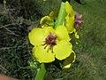 Verbascum virgatum flower4 NT (16780948116).jpg