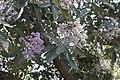 Vernonia arborea 4714.jpg