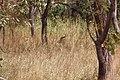 Verscholen tussen het gras natuurpark in Senegal.jpg