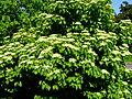 Viburnum dilatatum 'Erie'.jpg